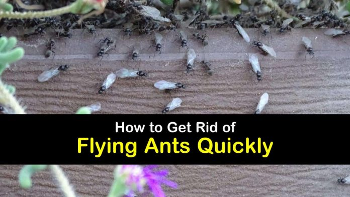 10 amazing ways to get rid of flying ants quickly