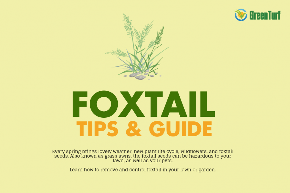 Foxtail: How To Control And Get Rid Of This Weed From Your ...