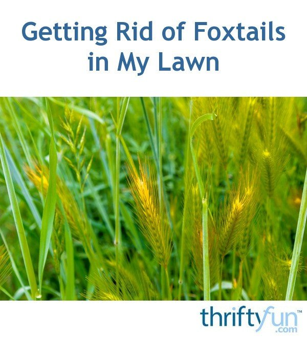 Getting Rid of Foxtails in My Lawn?