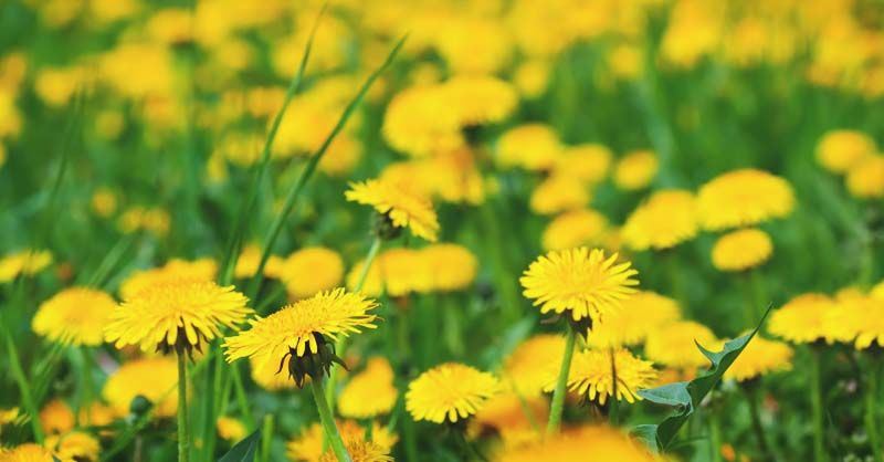 How to Get Rid of Dandelions (and a Few Reasons to Keep ...