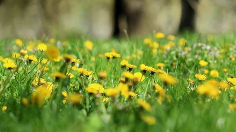 How to Remove Dandelions and Dandelion Type Weeds From ...