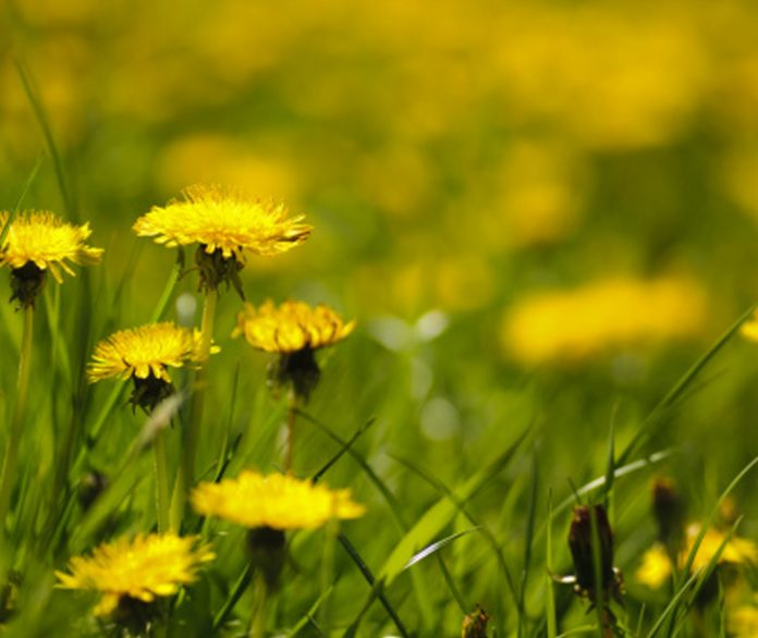 how to treat dandelions during the spring and summer