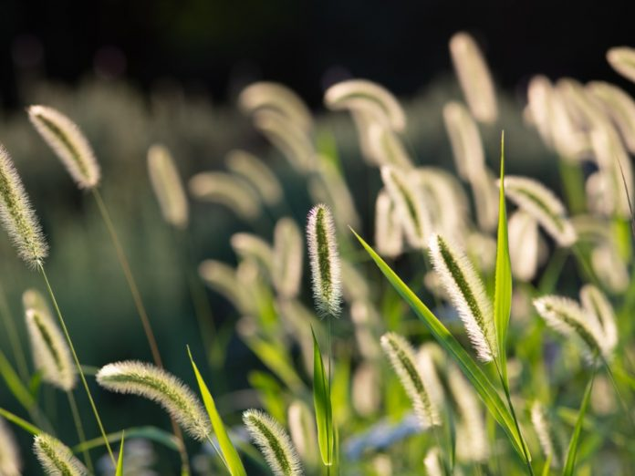 killing foxtail weeds information and tips for foxtail