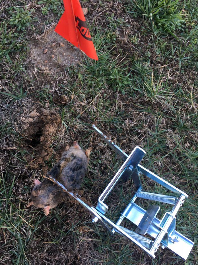 mole treatment page 2 lawnsite comtm lawn care
