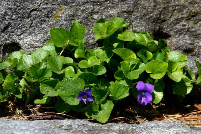 the worst weeds in minneapolis and how to get rid of them