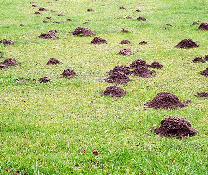 Treating Your Lawn for Moles