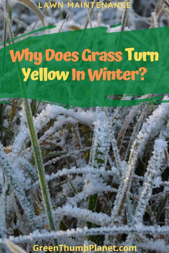 why does grass turn yellow in winter in 2020 winter